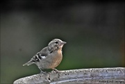 15th Sep 2020 - Young chaffinch