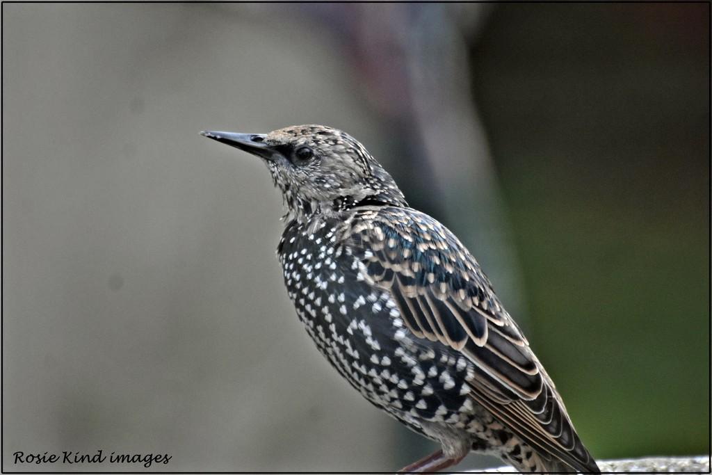 Starling by rosiekind