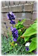 15th Sep 2020 - Lavender blue , dilly dilly ........