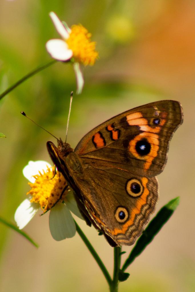 Butterfly2 by joesweet