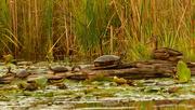14th Sep 2020 - turtle vs duck standoff