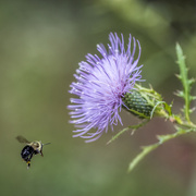 15th Sep 2020 - Bee & Thistle