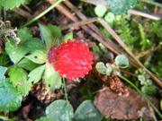 15th Sep 2020 - Mock Strawberry