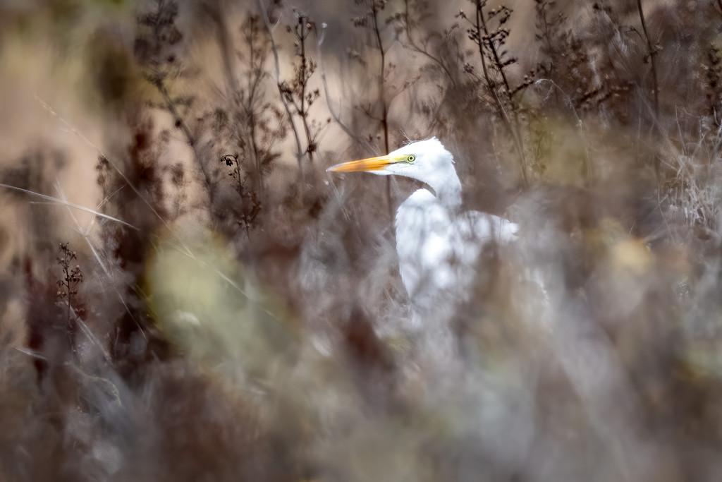 Great Egret by nicoleweg