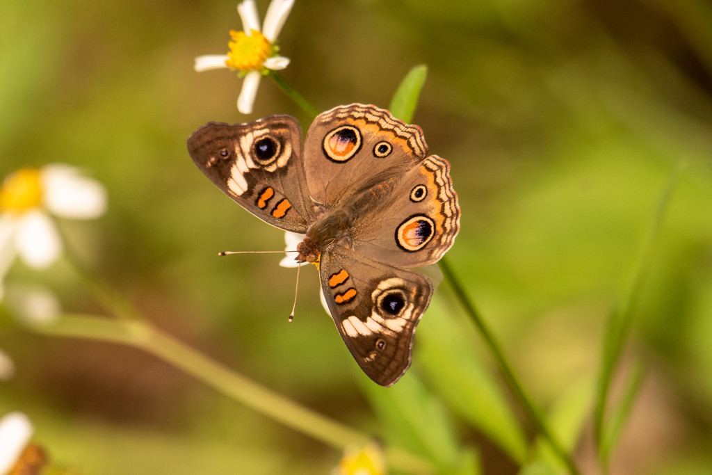 Tropical Buckeye Butterfly! by rickster549