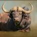 Cape Buffalo by ludwigsdiana