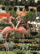 16th Sep 2020 - Flamingo Friday
