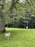 16th Sep 2020 - Funny sheep