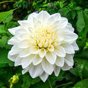 16th Sep 2020 - White Dahlia.