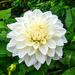 White Dahlia. by tonygig