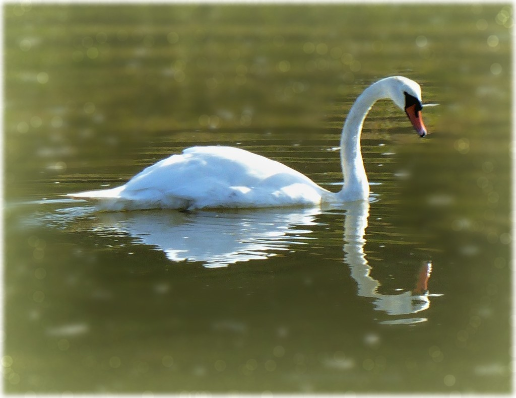 Just swanning around by judithdeacon