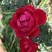 Vivid late summer roses
