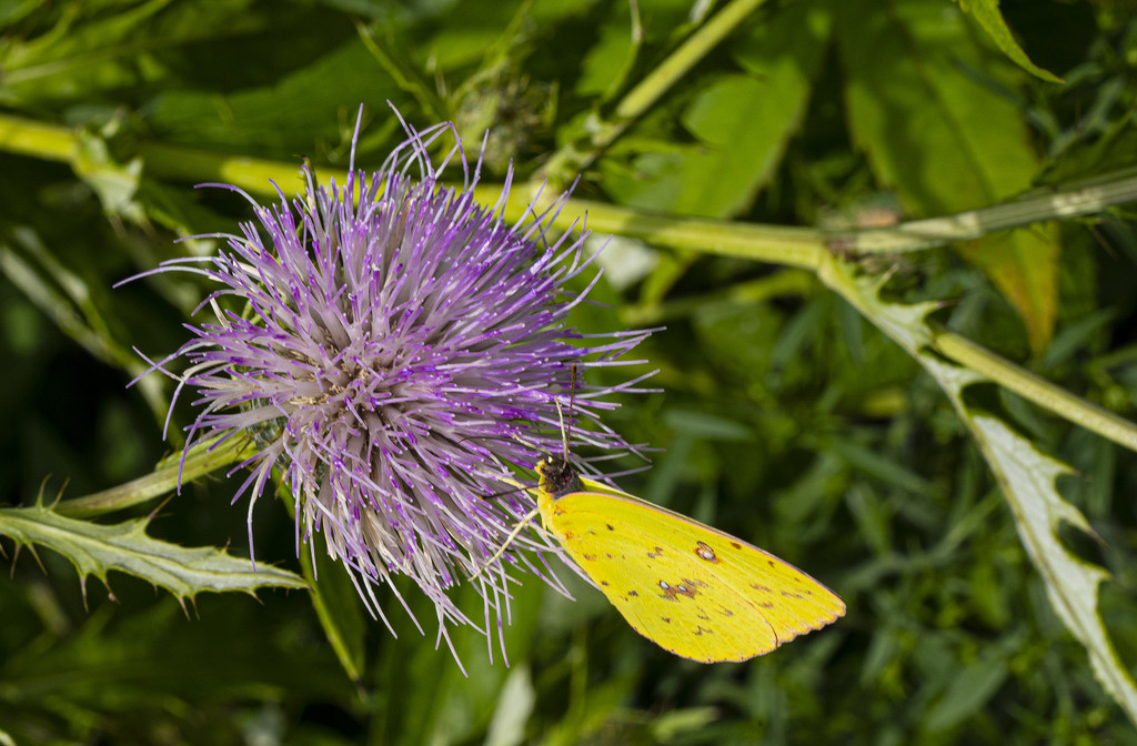 Thistle and Clouded Yellow by k9photo