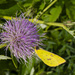 Thistle and Clouded Yellow