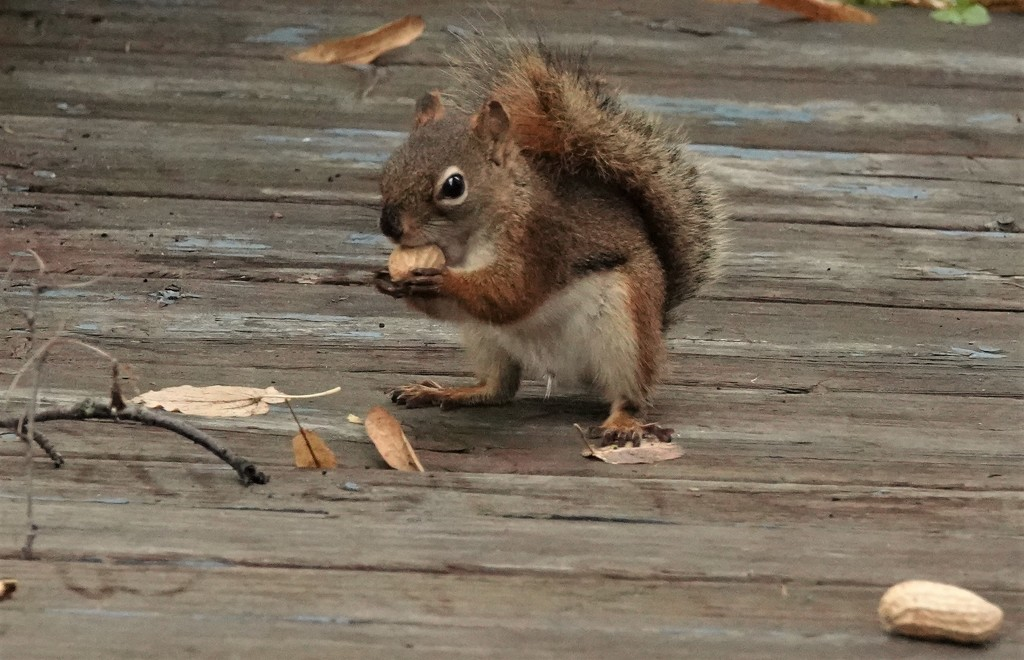 Baby Squirrel by radiogirl