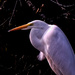 Egret by tosee