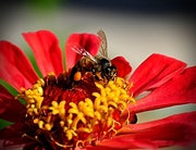 16th Sep 2020 - Red Zinnia & Bee
