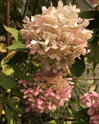 16th Sep 2020 - Hydrangea