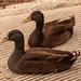 Ducks Taking a Break!