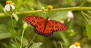 16th Sep 2020 - Gulf Fritillary Butterfly!