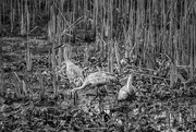 16th Sep 2020 - sandhill cranes
