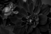 16th Sep 2020 - black dahlia