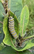 15th Sep 2020 - Milkweed and Monarch Caterpillar