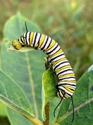 16th Sep 2020 - Monarch Caterpillar