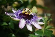 17th Sep 2020 - return to the garden:second flush passion flower