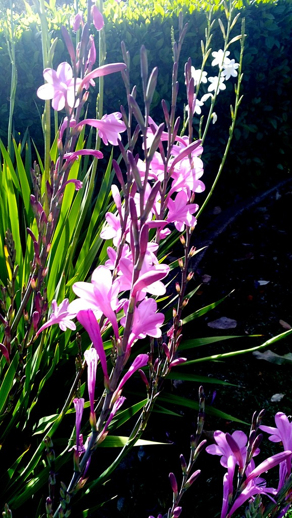 Flowers in the sun Toowoomba by 777margo