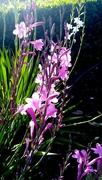17th Sep 2020 - Flowers in the sun Toowoomba