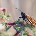 Monarch Butterfly by glendamg