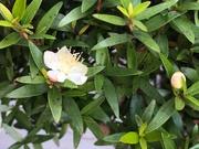 5th Sep 2020 - Myrtle flowers