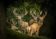 17th Sep 2020 - stags in waiting
