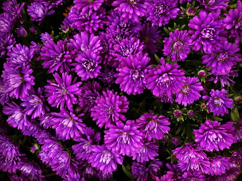 Chrysanthemum by loweygrace
