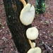 LHG-0242- mushroom group in pine tree knot