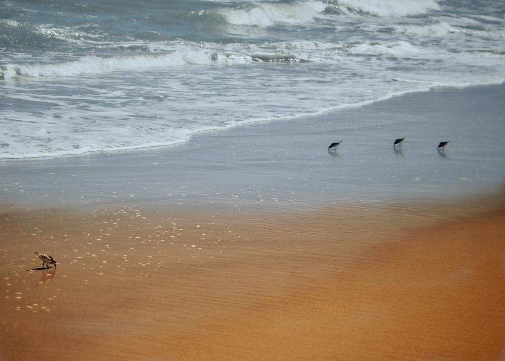 Sanderlings by joesweet