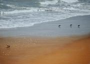 17th Sep 2020 - Sanderlings