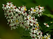 17th Sep 2020 - calico asters