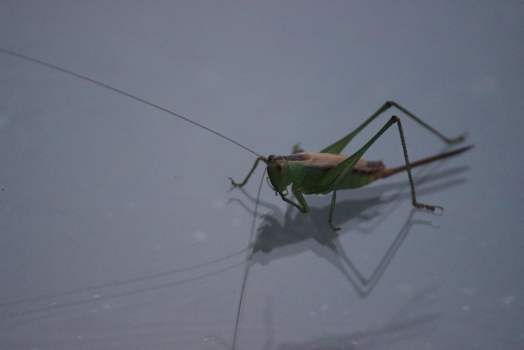 Grasshopper on Glass by themusketeers