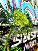 18th Sep 2020 - Carrot Flower