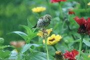 17th Sep 2020 - Goldfinch On A Flower