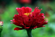 16th Sep 2020 - Red Flower