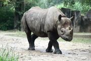 12th Sep 2020 - Big Ol' Rhino
