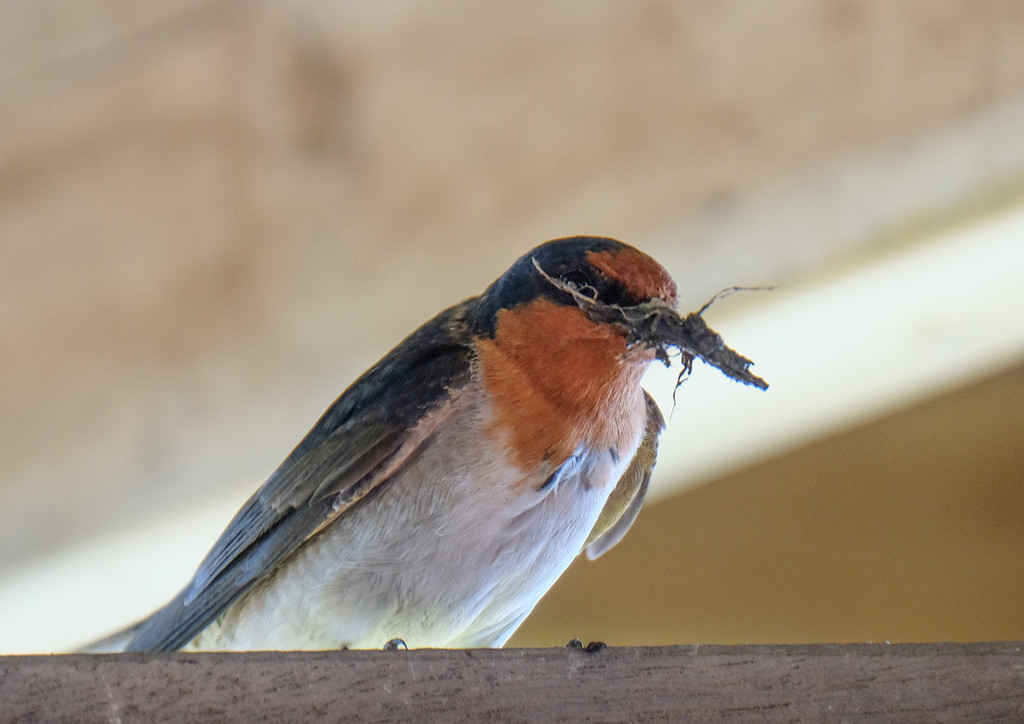 Welcome swallow with nest building material by maureenpp