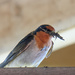 Welcome swallow with nest building material