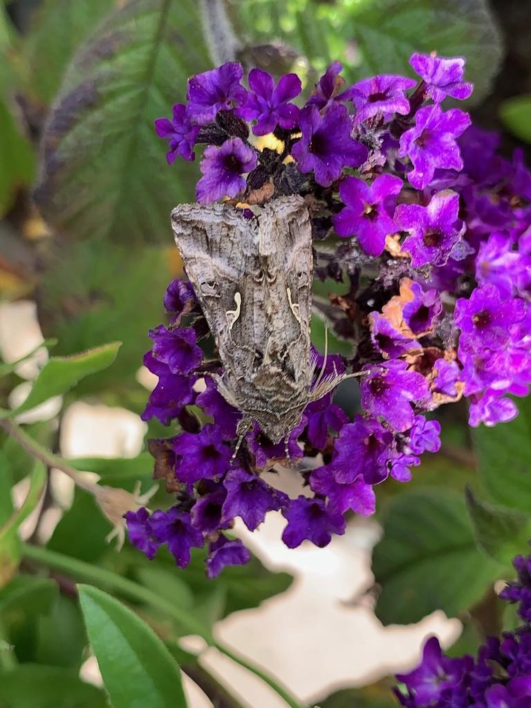 Moth by 365projectmaxine