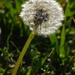 The sunlight on this dandelion caught my attention