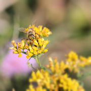 15th Sep 2020 - Little Bee Face
