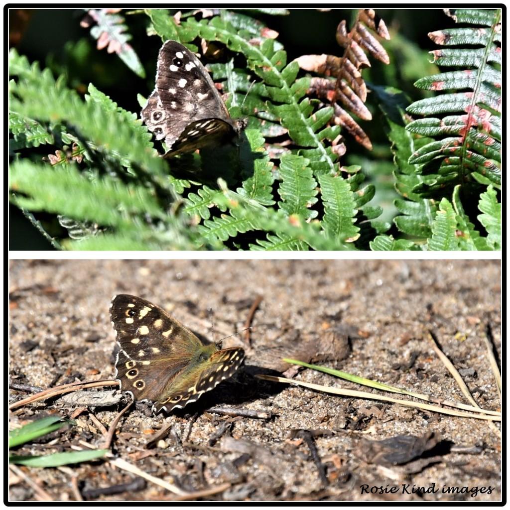 Butterfly by rosiekind